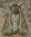 tawny marbled minor - Oligia latruncula