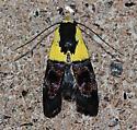 Rectiostoma Xanthobasis ( Yellow Vested Moth ) #1026 - Rectiostoma xanthobasis