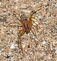 Spitting spider? - Scytodes lugubris - male
