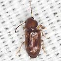Ground Beetle - Acupalpus testaceus
