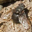 Tachinidae - Leschenaultia