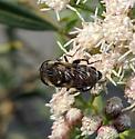 Mystery Hoverfly - Lejops polygrammus