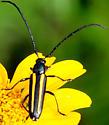 longhorn beetle?  - Lophalia cyanicollis