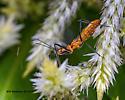 Milkweed Assassin Bug (Zelus longipes) - Zelus longipes