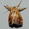 Purple-crested Slug Moth - Hodges#4685 - Adoneta spinuloides