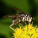 Syrphid - Spilomyia fusca - male
