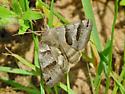 Moth, Grey - Caenurgina erechtea