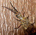 dobson or fish fly - Chauliodes pectinicornis