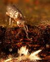 Collembola - Pogonognathellus
