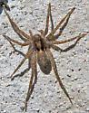 Pardosa? - female