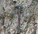 Elusive clubtail - Stylurus notatus - female