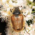 Cranberry Root Grub  - Lichnanthe vulpina - female