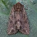 A Noctuid Moth - Morrisonia