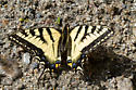 Swallowtail - Papilio canadensis - male