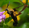 hummingbird clearwing - Hemaris diffinis