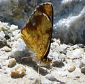 Butterfly  - Phyciodes cocyta