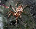 Web Spider 3 - Hololena