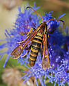 unknown wasp type moth? - Carmenta armasata