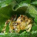 Spider for ID - Larinioides