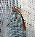 Strange Fly 2 - Leptogaster virgata - Leptogaster virgata