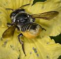 Megachile ID request - Megachile - female