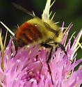 Great Basin bumblebee? - Bombus centralis