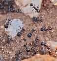 Formicidae: ants at nesthole - Pogonomyrmex rugosus