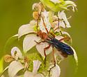 Wasp? - Tachypompilus ferrugineus