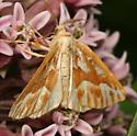 Daytime moth ID needed - Caripeta piniata