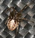 little brown spider - Zygiella dispar