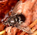 Tachinid Fly - Leschenaultia