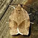 Choristoneura rosaceana - male