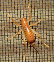 Leafrolling Cricket - Camptonotus carolinensis - female