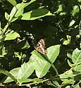 brown butterfly - Limenitis lorquini