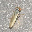 Small Fly - Parochthiphila