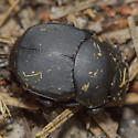 Beetle - Canthon