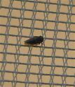 Hopper - Ceratagallia