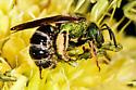 Agapestomen   - Agapostemon virescens - male