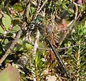 Dragonfly - Somatochlora semicircularis