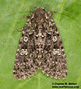 Noctuid - Paramiana - female