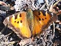 Tortoise shell? - Nymphalis californica