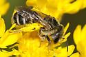 Andrena nubecula? or Halictus? - Halictus ligatus