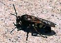 Saginaw Michigan - Wasp - Sphecius speciosus