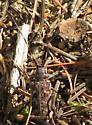 Timothy Lake Beetle 2 - Monochamus