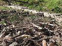 habitat - Anapleus marginatus
