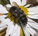 Vibrating bee - Osmia