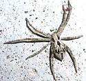 Thanatus? - Rhysodromus histrio - female