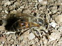 Small ground bee #1 - Apis mellifera