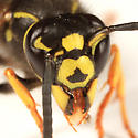 Ground Hornet - Vespula vidua - female