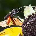 Ichneumon Wasp - 2 of 2 - Cryptus albitarsis